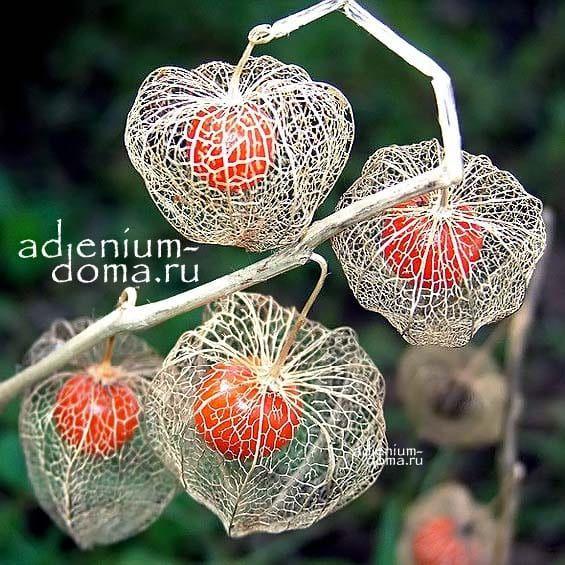 Physalis ALKEKENGI Физалис обыкновенный ягоды 1