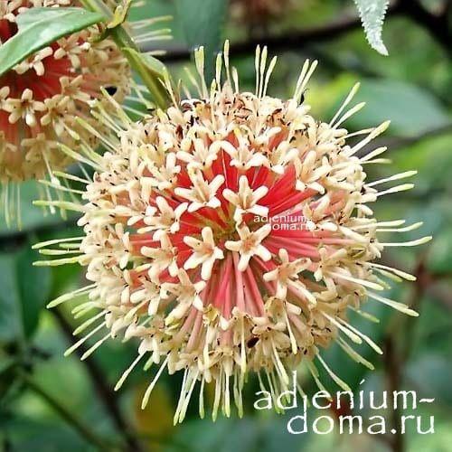 Uncaria RHYNCHOPHYLLA Ункария клюволистная цветение 1