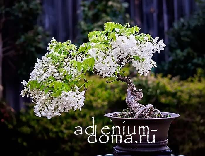 Wisteria SINENSIS ALBAГлициния китайская белая bonsai 2