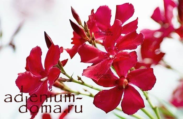 Nerium OLEANDER 'HARDY RED' Олеандр обыкновенный 2