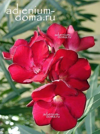 Nerium OLEANDER 'HARDY RED' Олеандр обыкновенный 3