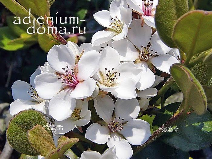 Rhaphiolepis UMBELLATA Рафиолепис зонтичный цветы 3