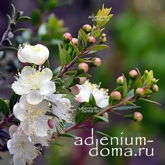 Myrtus COMMUNIS Мирт обыкновенный цветы 1