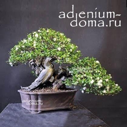 Myrtus COMMUNIS Мирт обыкновенный брнсай 2