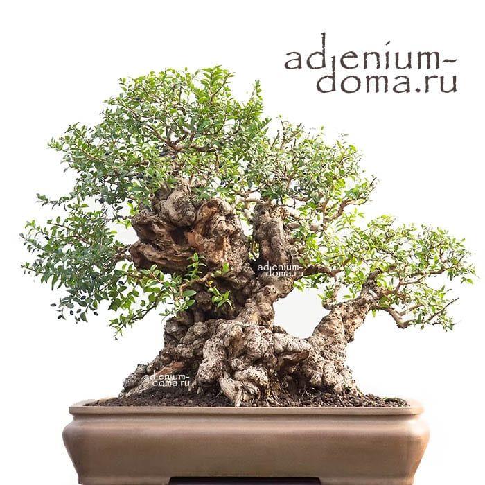 Myrtus COMMUNIS Мирт обыкновенный bonsai 5