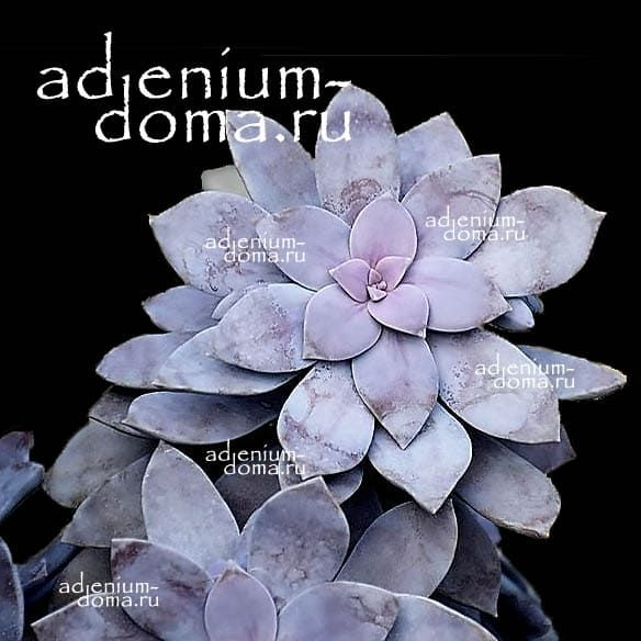 Graptopetalum PENTANDRUM SUPERBUM Граптопеталум пятитычинковый супербум 1