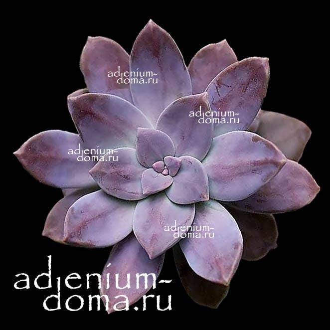 Graptopetalum PENTANDRUM SUPERBUM Граптопеталум пятитычинковый супербум 2