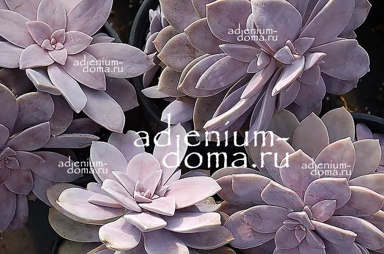 Graptopetalum PENTANDRUM SUPERBUM Граптопеталум пятитычинковый супербум 3