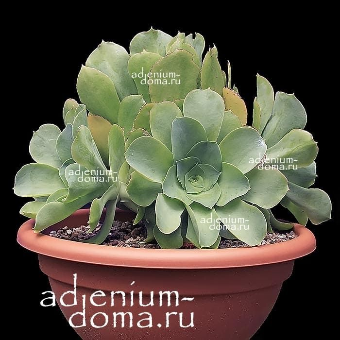 Aeonium CUNEATUM Эониум клиновидный 1