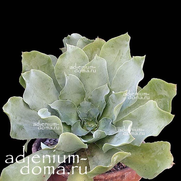 Aeonium CUNEATUM Эониум клиновидный 2