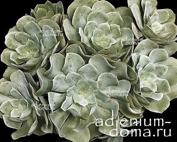 Aeonium CUNEATUM Эониум клиновидный 3
