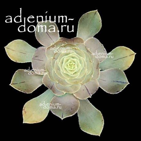 Aeonium ARBOREUM HOLOCHRYSUM Эониум древовидный золотистый 1