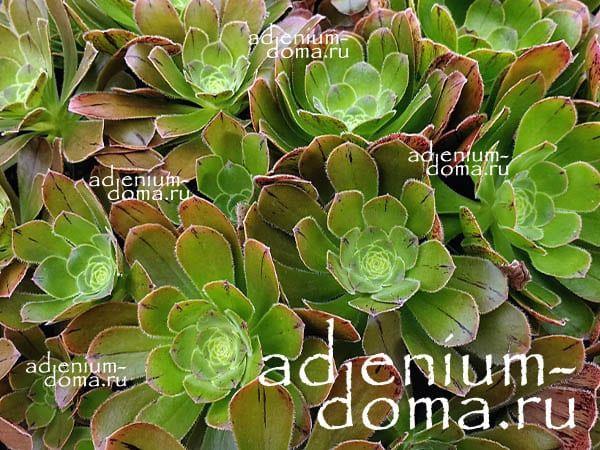 Aeonium ARBOREUM HOLOCHRYSUM Эониум древовидный золотистый 3