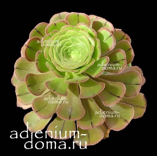 Aeonium ARBOREUM Эониум древовидный 1