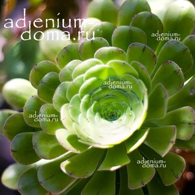 Aeonium ARBOREUM Эониум древовидный 2