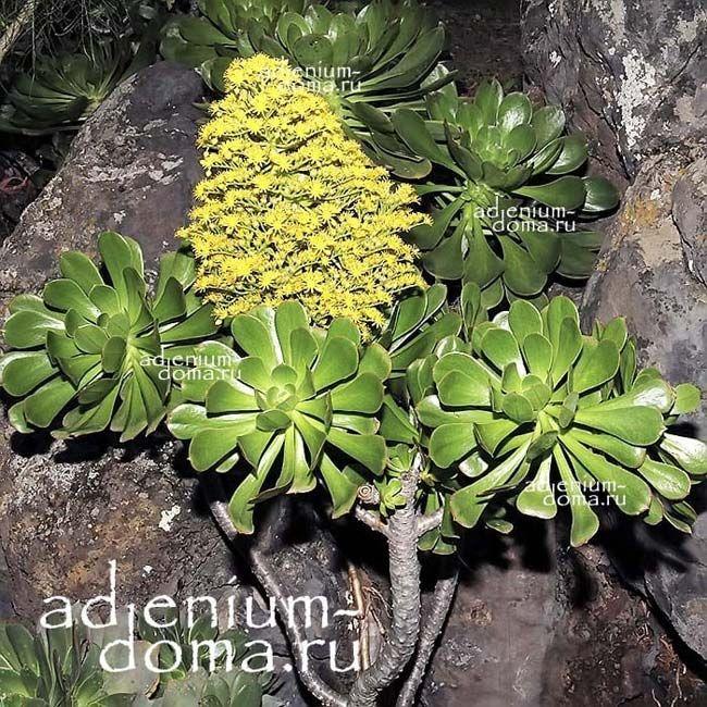Aeonium ARBOREUM Эониум древовидный 3