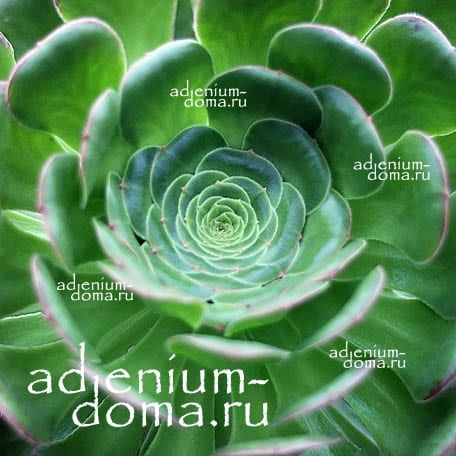 Aeonium PALMENSE Эониум пальмский 2