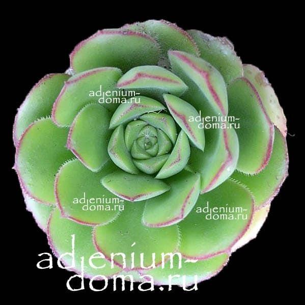 Aeonium VOLKERI Эониум волкери 1