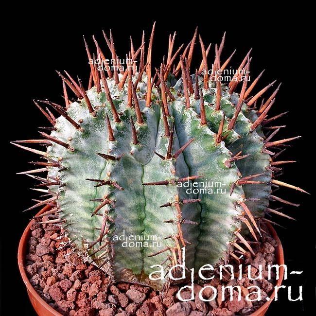 Euphorbia HORRIDA Молочай ощетиненный 2