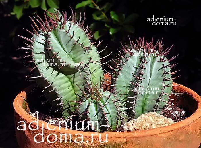 Euphorbia HORRIDA Молочай ощетиненный 3