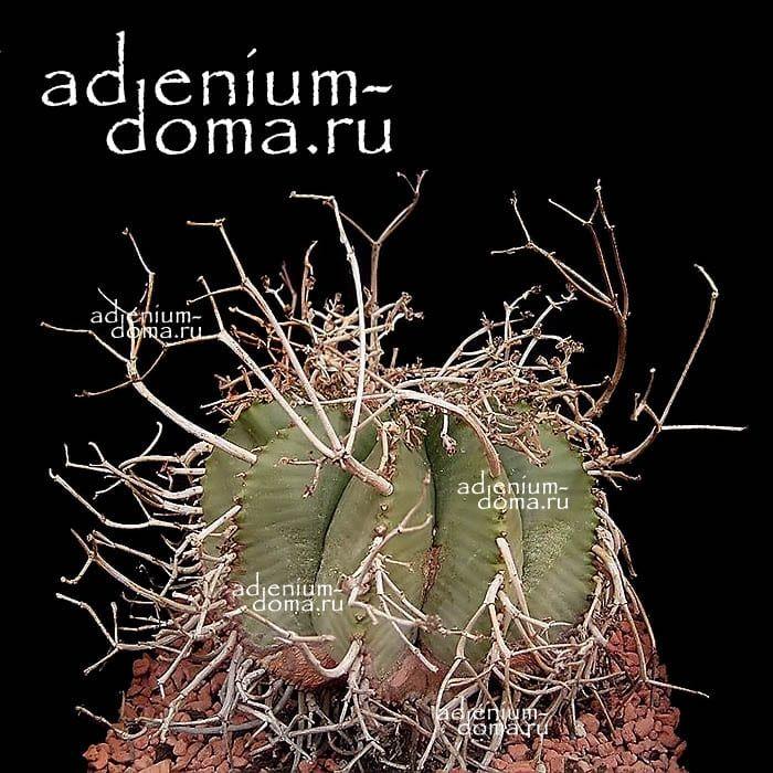 Euphorbia MELOFORMIS Молочай дыневидный 1