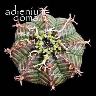 Euphorbia MELOFORMIS Молочай дыневидный 2