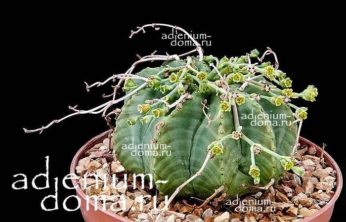 Euphorbia MELOFORMIS Молочай дыневидный 3