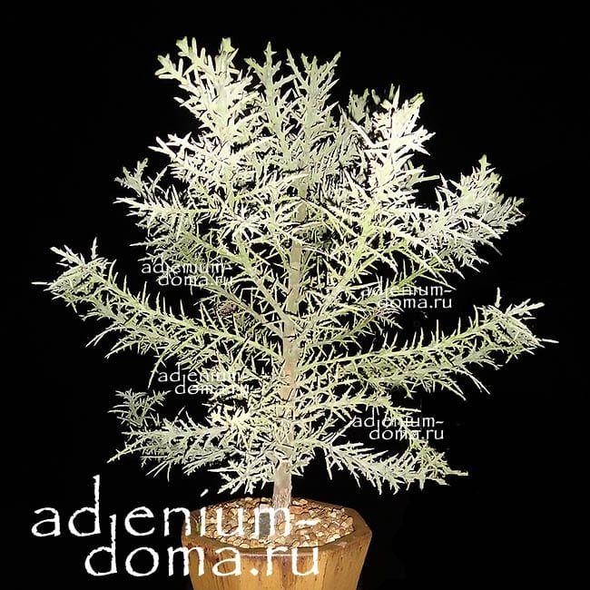 Euphorbia STENOCLADA Молочай узковеточный 1
