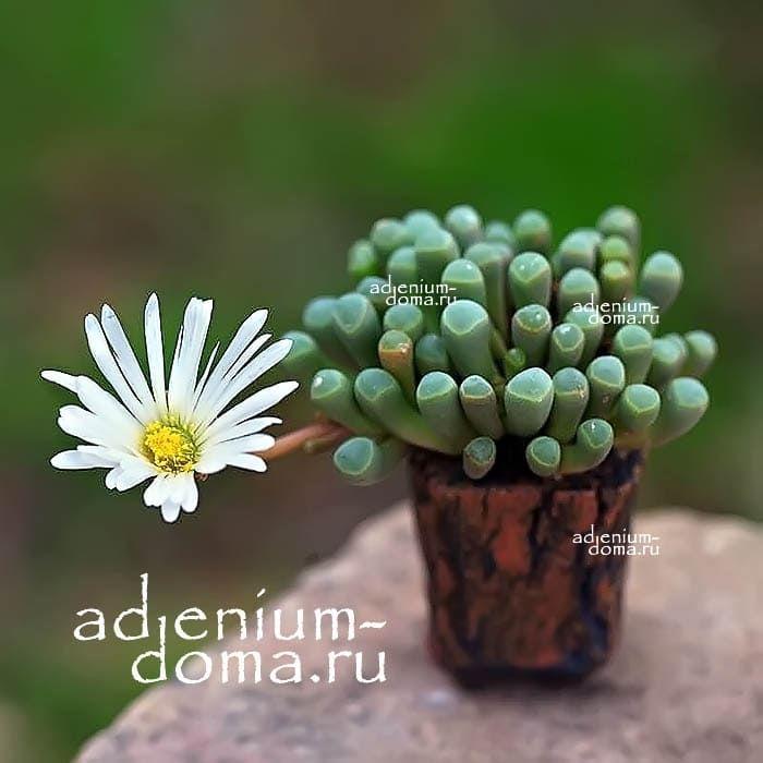 Fenestraria RHOPALOPHYLLA Фенестрария Ропалофилла цветение 2