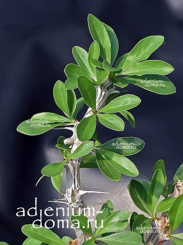 Fouquieria SPLENDENS Фукерия блестящая ветка 3