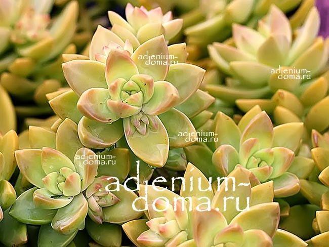 Sedum ADOLPHII Седум Адольфа Очиток 3