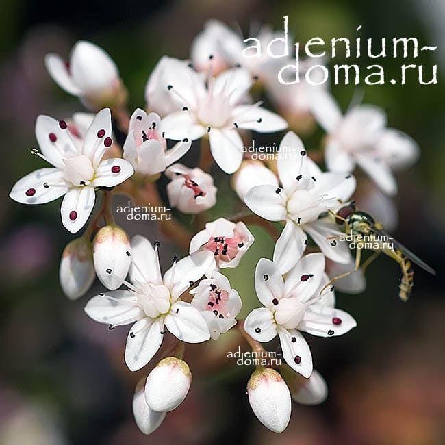Sedum ALBUM Седум белый Очиток цветение 2