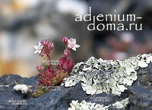Sedum ALBUM Седум белый Очиток в природе 3
