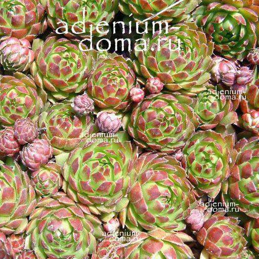 Sempervivum MARMOREUM Молодило мраморное 2