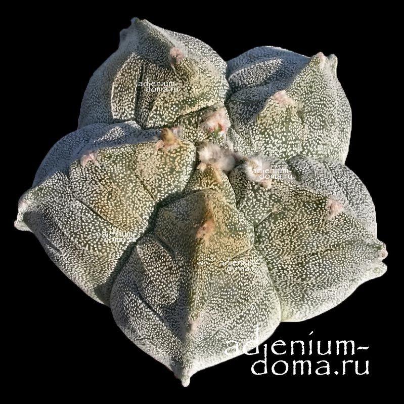 Adenium Obesum DRAGON BLOOD