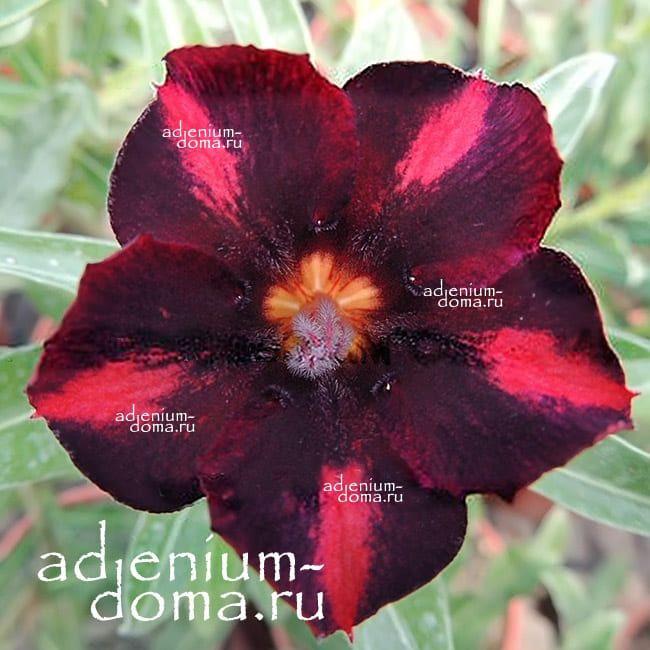 Adenium Obesum PLUTO