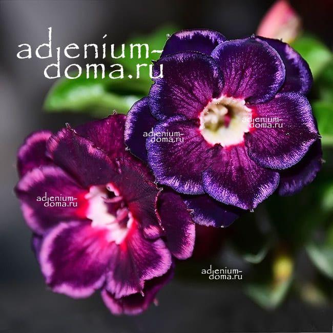 Adenium Obesum Double LOVER