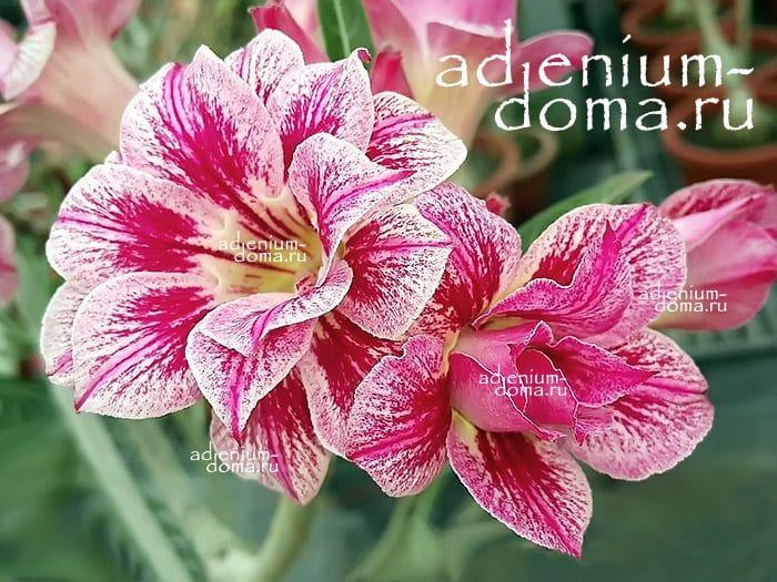 Adenium Obesum Double KATHERINE