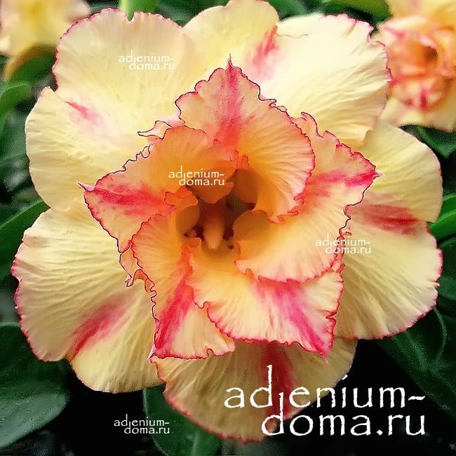 Adenium Obesum Double LEADING LADY
