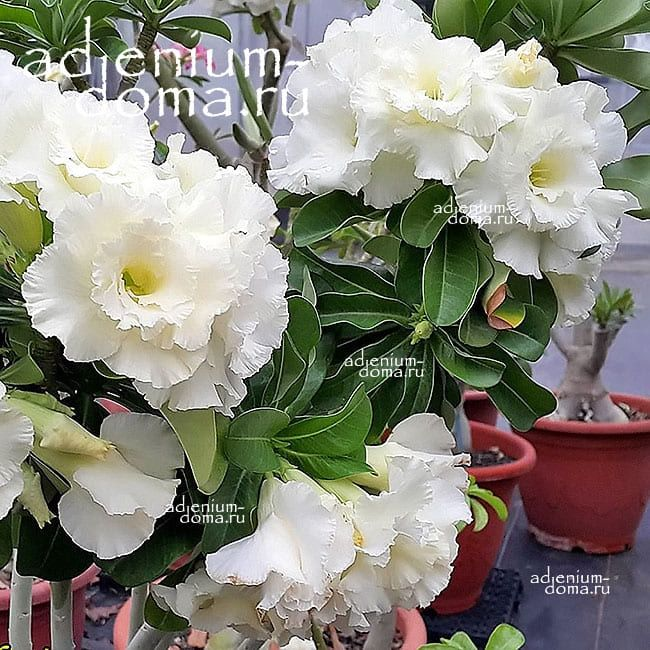 Adenium Obesum Triple WHITE VALENTINE