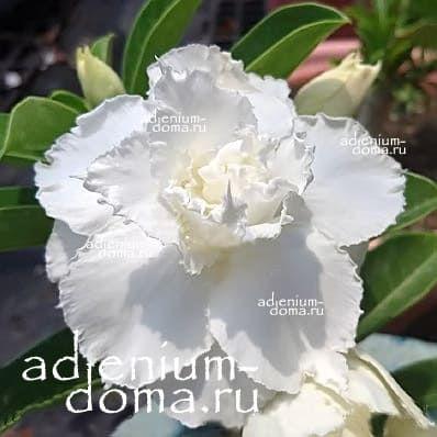 Adenium Obesum Triple WHITE DOLPHIN