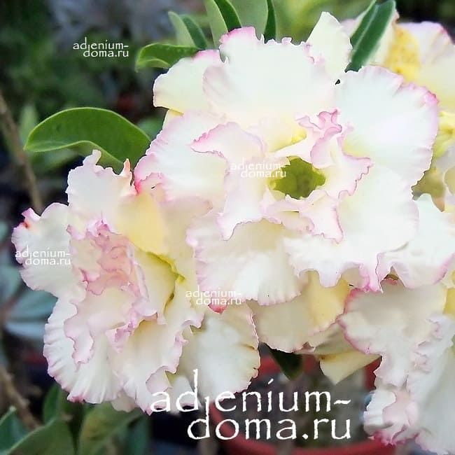 Adenium Obesum Triple SNOW QUEEN