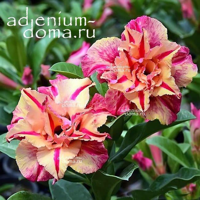 Adenium Obesum Triple PHARAOH