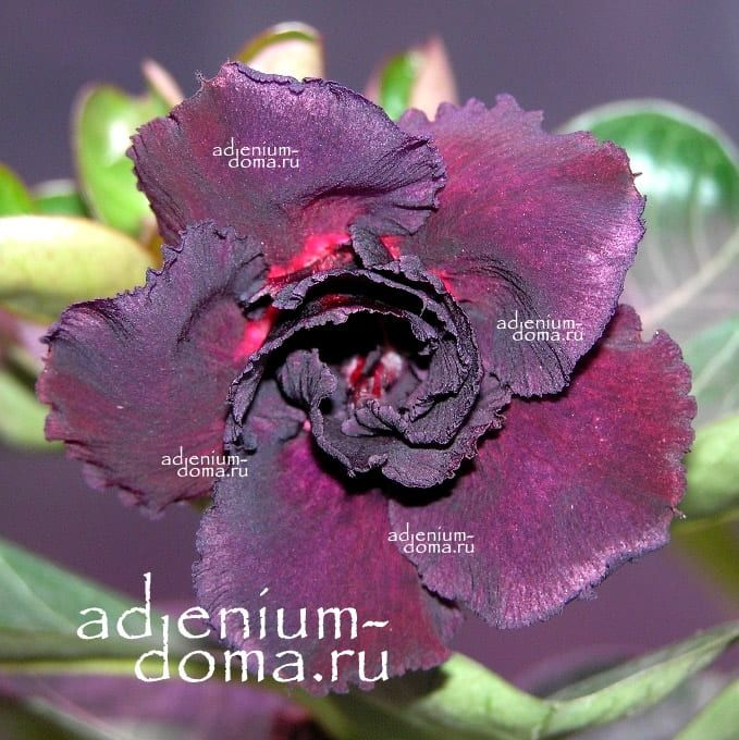 Adenium Obesum Triple BLACK PEARL