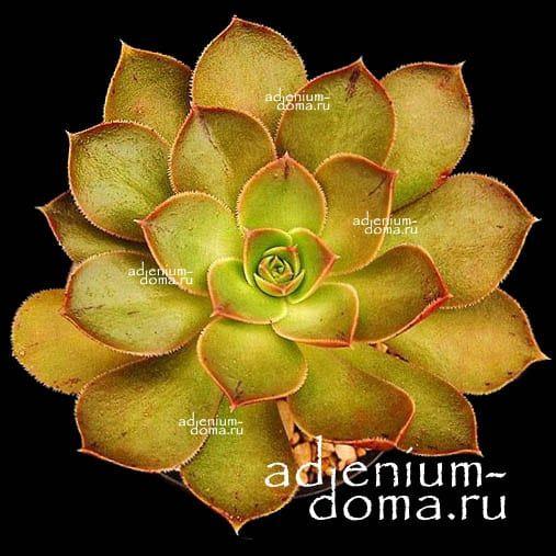 Aeonium CALDERENSE Эониум Калдерский 1