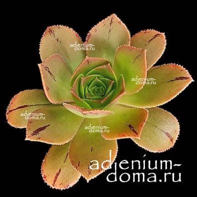 Aeonium CALDERENSE Эониум Калдерский 2