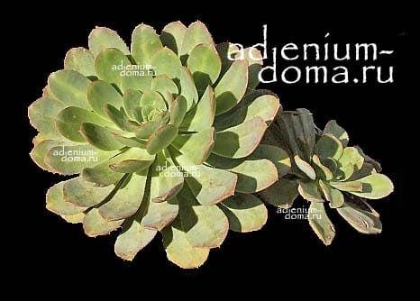 Aeonium CALDERENSE Эониум Калдерский 3