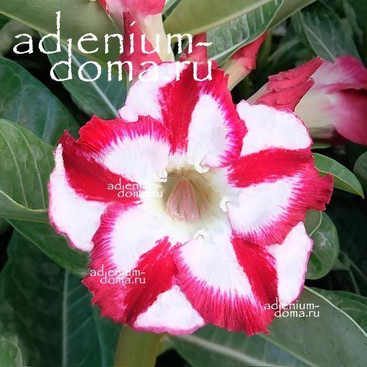 Adenium Obesum NEW-142