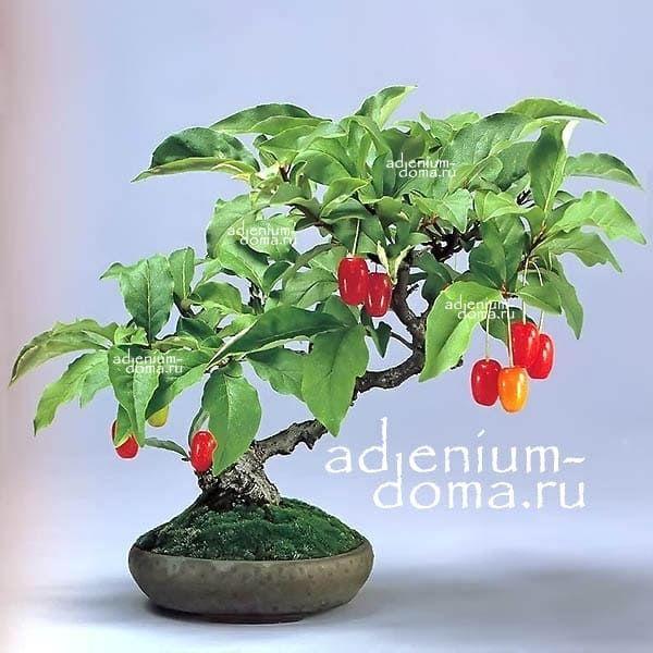 Elaeagnus MULTIFLORA Лох многоцветковый Гуми 1