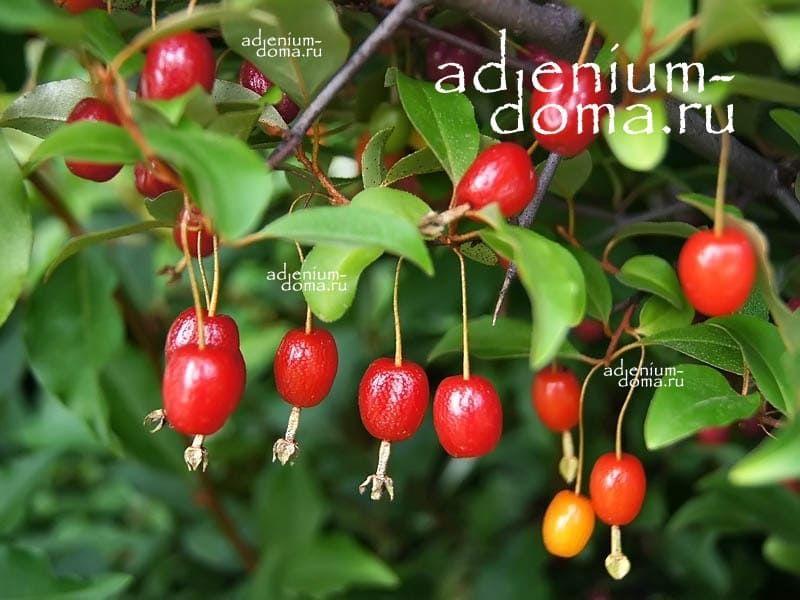 Elaeagnus MULTIFLORA Лох многоцветковый Гуми 2